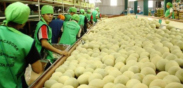 Crece la exportación de melón hacia el mercado asiatico y europeo