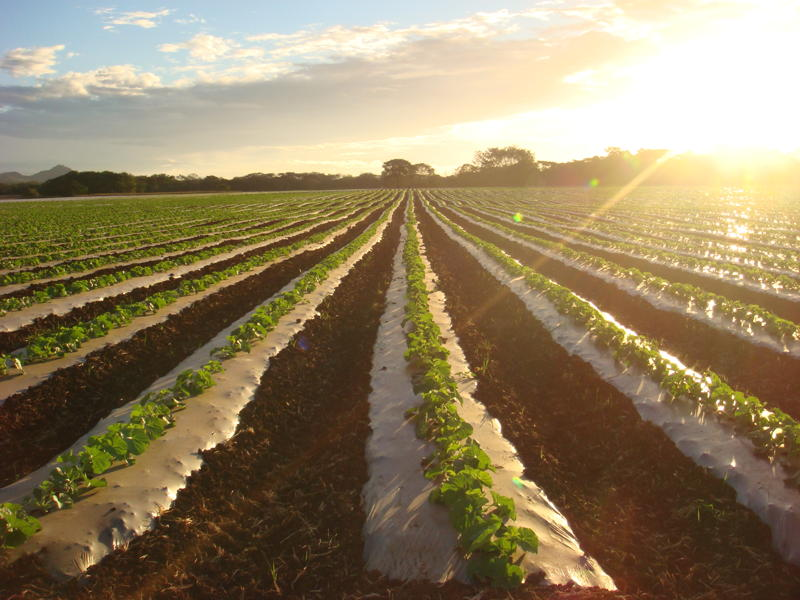 Costa Rica: La temporada de melón se cierra con mejor situación que en años anteriores