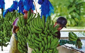 Costa Rica fija la caja de bananas en 8,36$