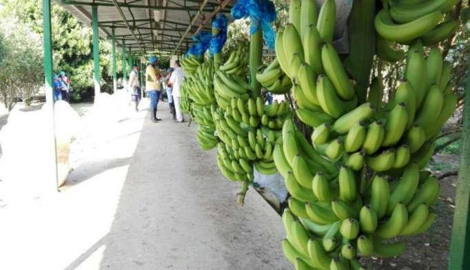 Sindicatos bananeras presentaron quejas por malas condiciones laborales en Ecuador